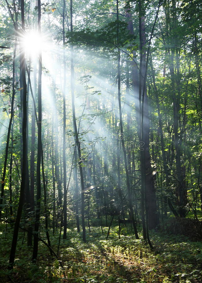 Forêt ensoleillée. photos stock