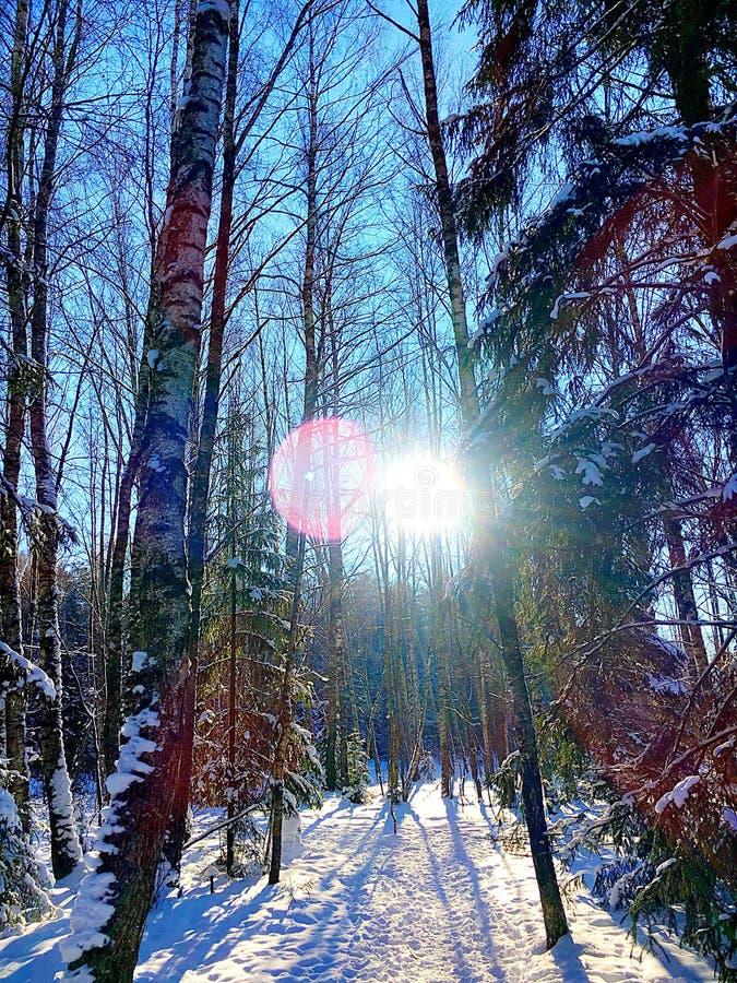Forêt ensoleillée de l'hiver photographie stock