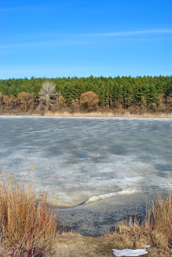 Forêt et saules de pin le long, roseaux putréfiés sur le rivage du lac avec de la glace de fonte, sur le fond du ciel bleu, journ photographie stock