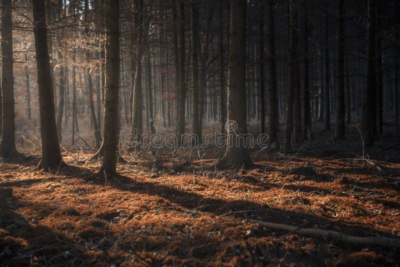 Forêt foncée d'automne avec des faisceaux de lumière image libre de droits