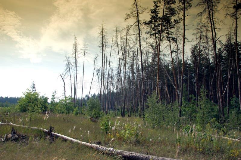 Forêt foncée de pin photographie stock libre de droits