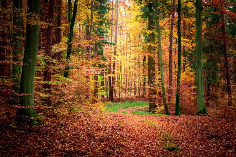 Forêt foncée renversante en automne, la Pologne photo libre de droits