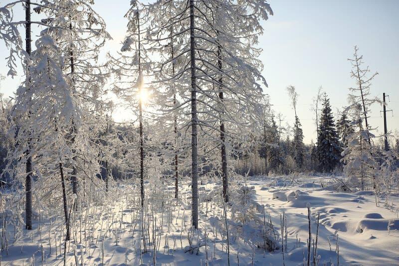 Forêt froide de sapin de jour photo stock