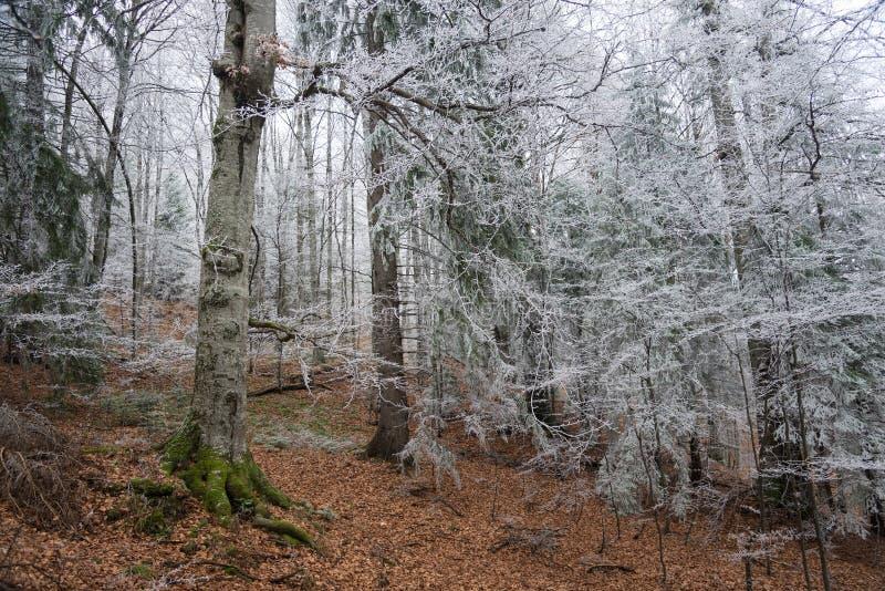 Forêt givrée photos stock