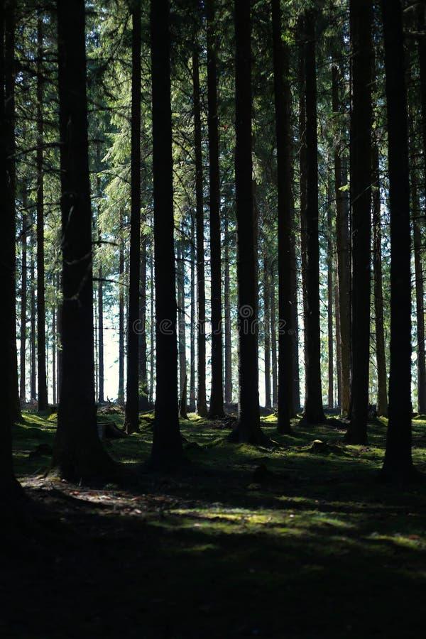 Forêt grande de sapin image stock