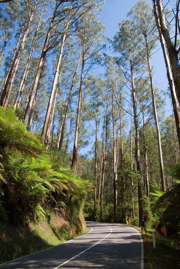 Forêt humide grande d'eucalyptus le long de route photos libres de droits