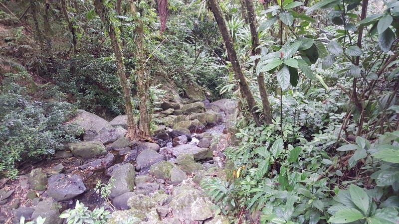Forêt humide portoricaine photographie stock libre de droits