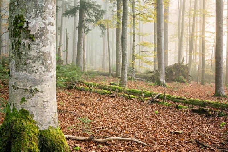 Forêt II de hêtre (Fagus) photo libre de droits