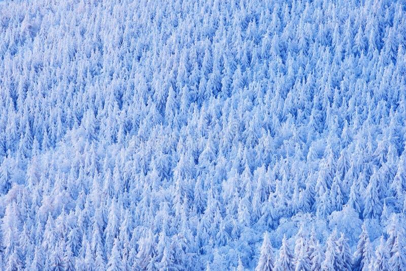 Forêt impeccable d'arbre avec la neige, la glace et le givre Lumière rose de matin avant lever de soleil Crépuscule d'hiver, natu images stock
