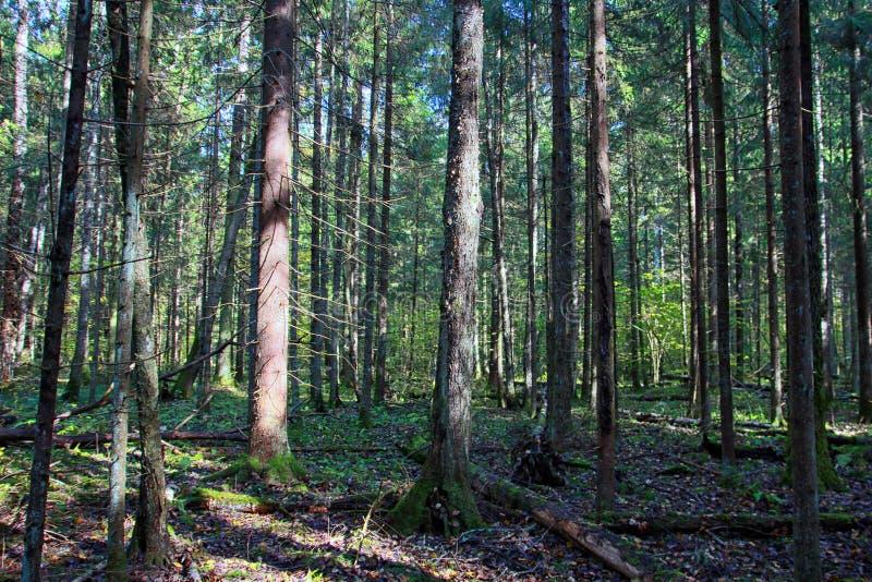 Forêt impeccable de bel automne en automne en septembre photos stock