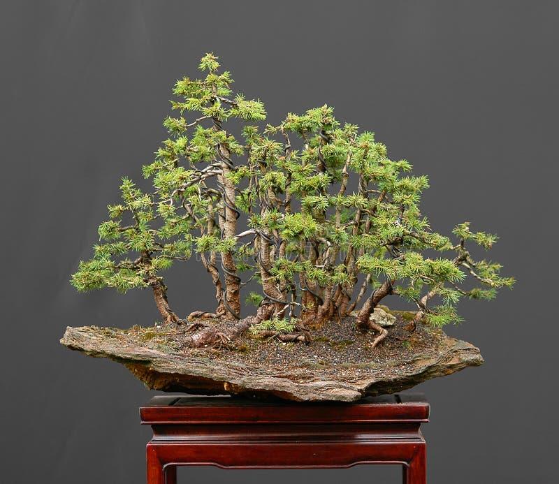 Forêt impeccable de bonzaies sur la roche photographie stock libre de droits