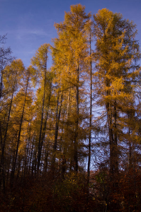 Forêt jaune photo stock