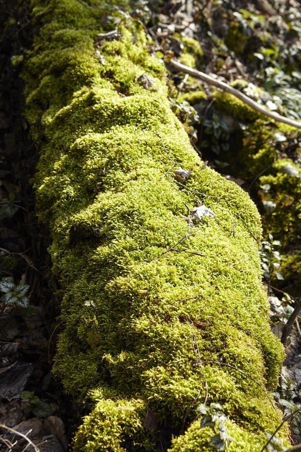 Forêt - la mousse a couvert le fût d'arbre image stock