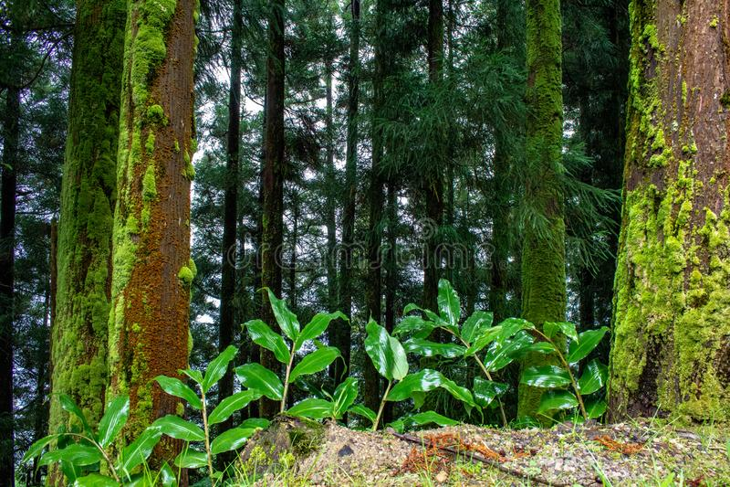 Forêt luxuriante verte sur l'île du sao Miguel, Açores, Portugal photographie stock
