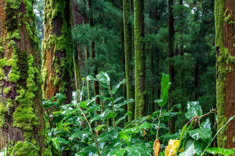 Forêt luxuriante verte sur l'île du sao Miguel, Açores, Portugal photo libre de droits