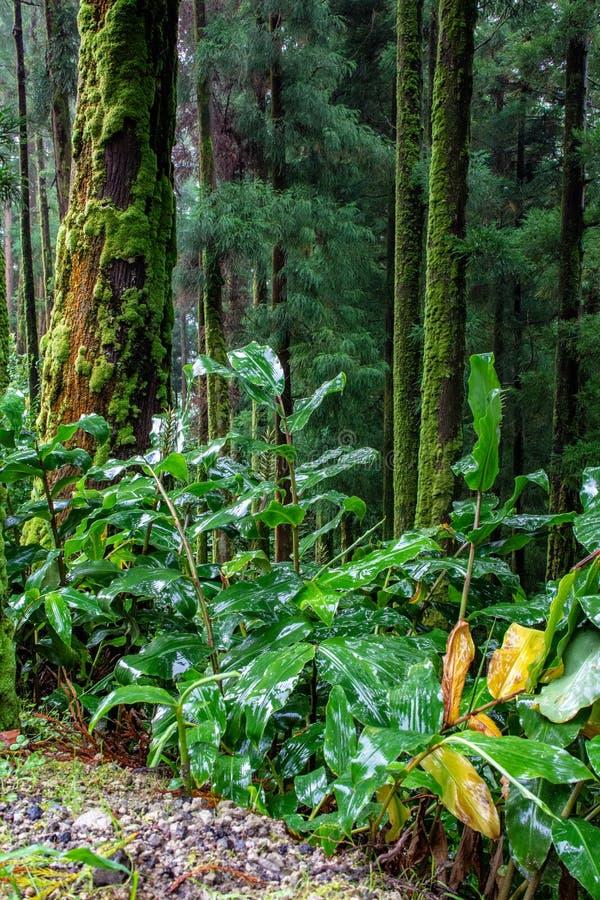 Forêt luxuriante verte sur l'île du sao Miguel, Açores, Portugal photographie stock libre de droits