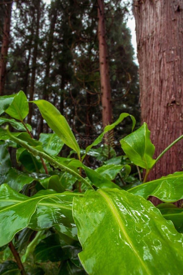 Forêt luxuriante verte sur l'île du sao Miguel, Açores, Portugal images libres de droits