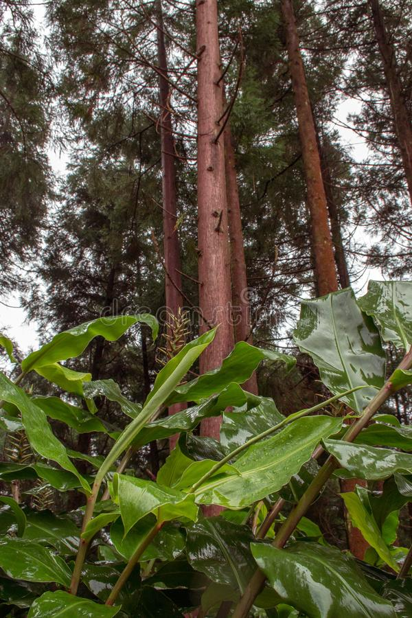Forêt luxuriante verte sur l'île du sao Miguel, Açores, Portugal images stock