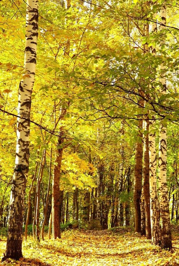 Forêt mélangée d'or de chemin de lumière du soleil d'automne en octobre image libre de droits