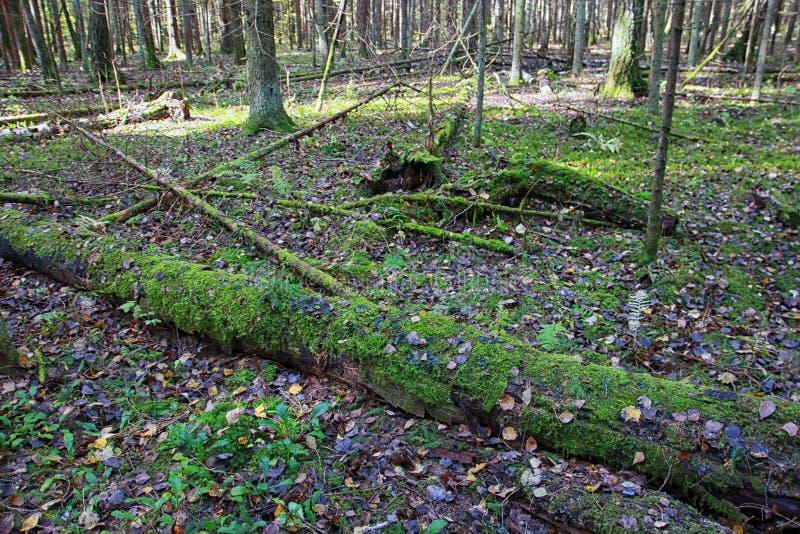 Forêt mélangée de bel automne en automne en septembre photographie stock libre de droits