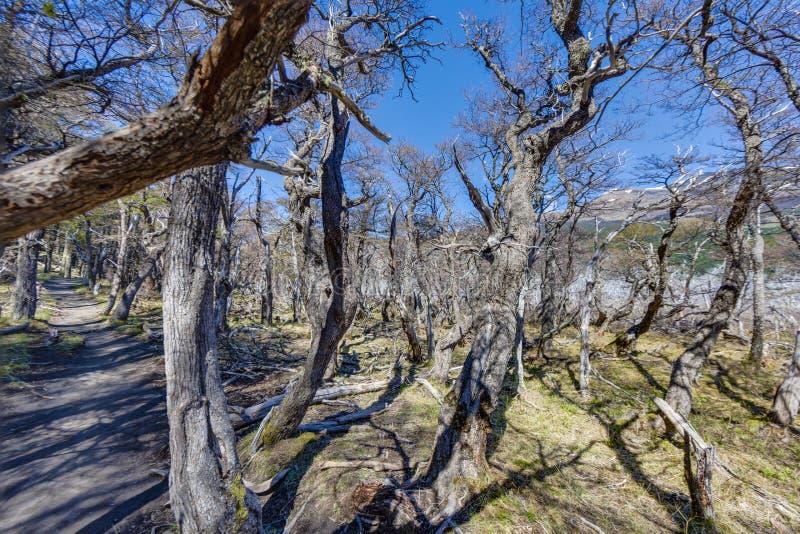 Forêt maigre sur le sentier de randonnée entre l'EL Chalten et Cerro Torre photographie stock libre de droits