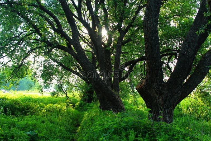 Forêt, matin d'été, jour d'été brumeux de matin dans la forêt photo stock
