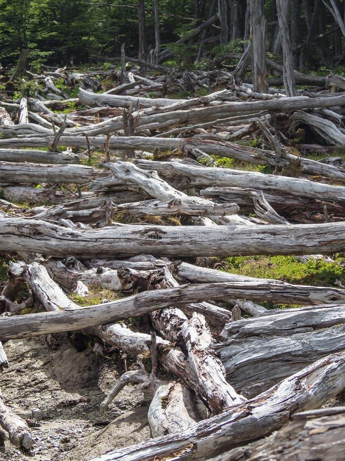 Forêt morte provoquée par des castors en Tierra del Fuego, Argentine photographie stock libre de droits