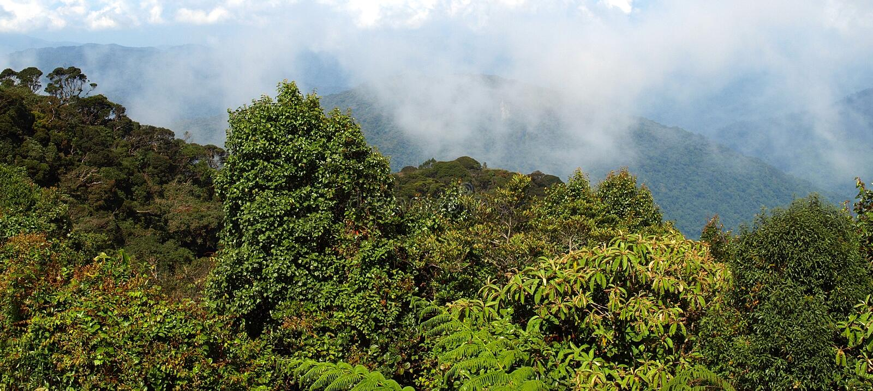 Forêt moussue, Gunung Brinchang photos stock