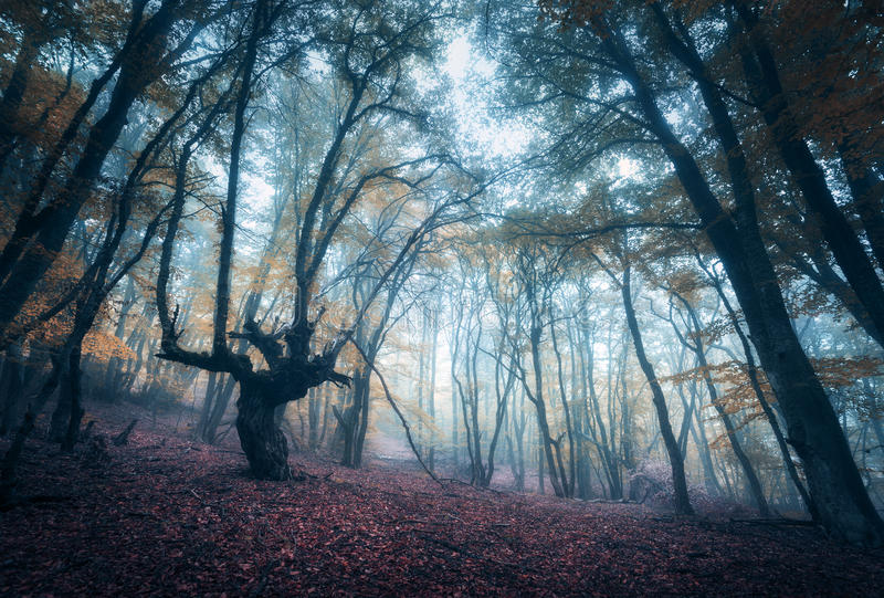 Forêt mystérieuse effrayante en brouillard en automne Arbres magiques nature images libres de droits