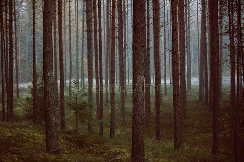 Forêt mystérieuse en brouillard de matin, en parc national de Kemeri images stock
