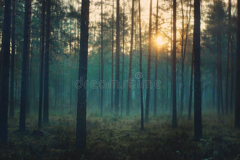 Forêt mystique à l'aube, supports bleus de brume entre les troncs des pins images stock