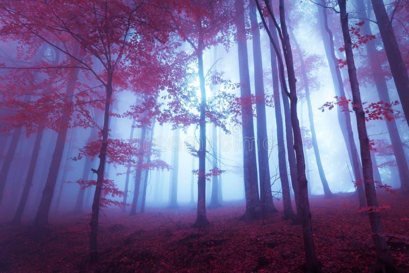Forêt mystique avec les feuilles de rouge et l'atmosphère bleuâtre photos libres de droits