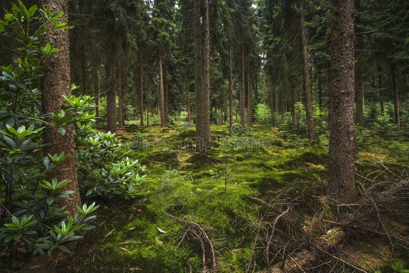 Forêt néerlandaise de sapin-sapin au crépuscule photos stock