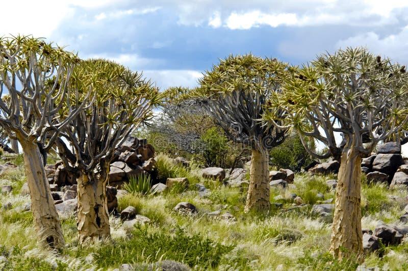 Forêt namibienne d'arbre de tremblement photo stock