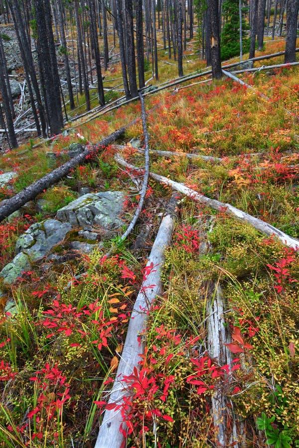 Forêt nationale de Lewis et de Clark - Montana images libres de droits