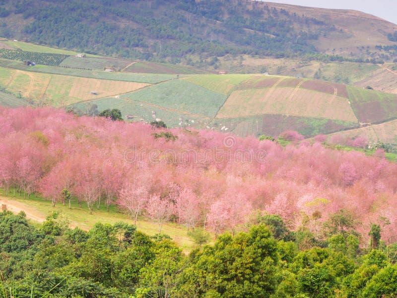 Forêt naturelle avec l'arbre rose thaïlandais de fleurs de cerisier image stock
