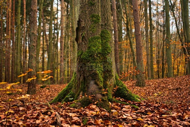 Forêt naturelle d'automne avec l'arbre couvert de la mousse photographie stock libre de droits