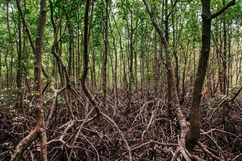 Forêt naturelle luxuriante de palétuvier de Koh Tean près d'île de Samui dans le summe photos libres de droits
