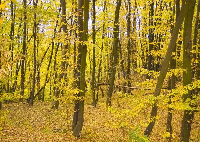 forêt novembre, feuilles jaunes rurales de parc d'automne images libres de droits