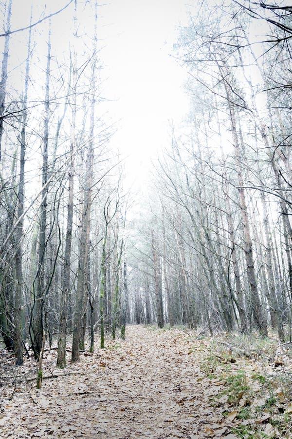 Forêt nue surexposée de pin donnant le paysage mystérieux image libre de droits