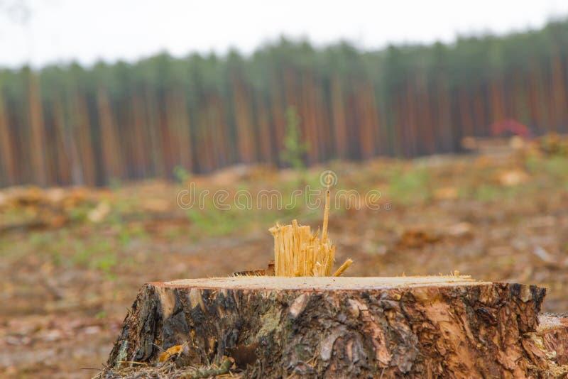 Forêt réduite Pins se situant dans la forêt après déboisement, bois de chauffage Pile de bois image stock