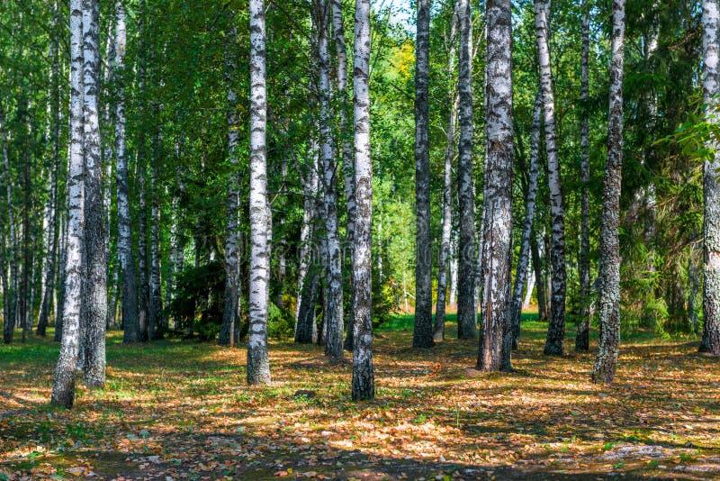 Forêt russe de bouleau en automne tôt photographie stock libre de droits