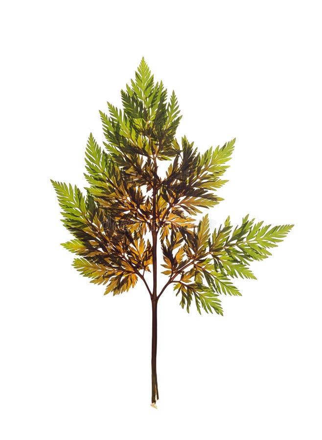 Forêt sèche d'anthriscus de feuille pour un herbier images libres de droits
