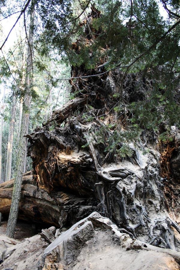 Forêt, séquoia Pour sauver la nature photo libre de droits