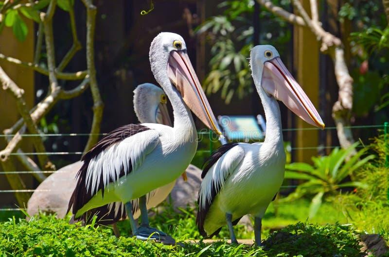 Forêt tropicale d'oiseau de pélican photographie stock