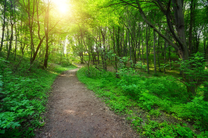 Forêt verte avec la voie et la lumière du soleil images stock