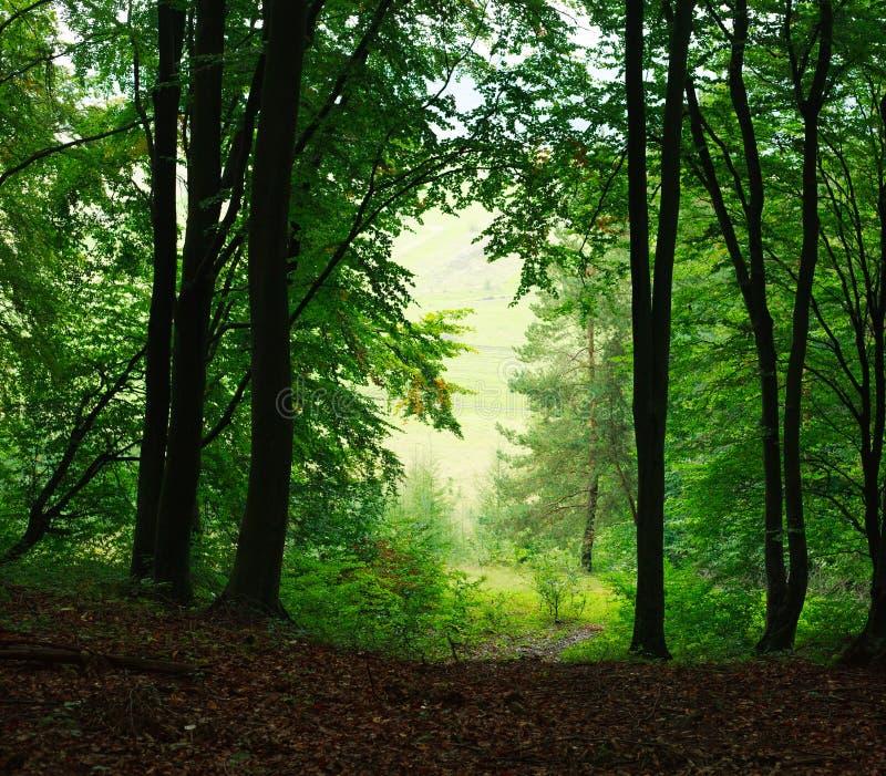 Forêt verte brumeuse d'été de fond de nature photos stock