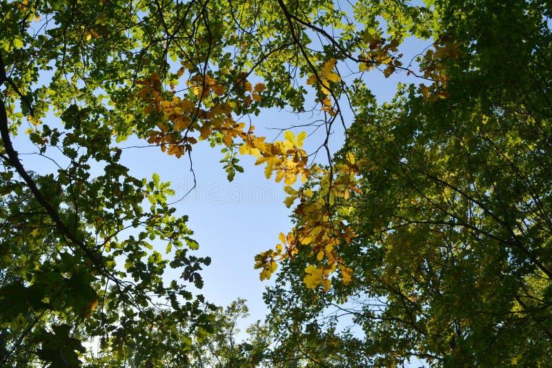 Forêt verte et jaune au début d'automne Vue sur des branches de chêne de dessous Feuillage contre le ciel photos stock