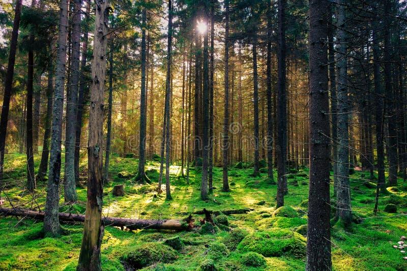 Forêt verte moussue confortable avec le contre-jour chaud dans le coucher du soleil photo stock