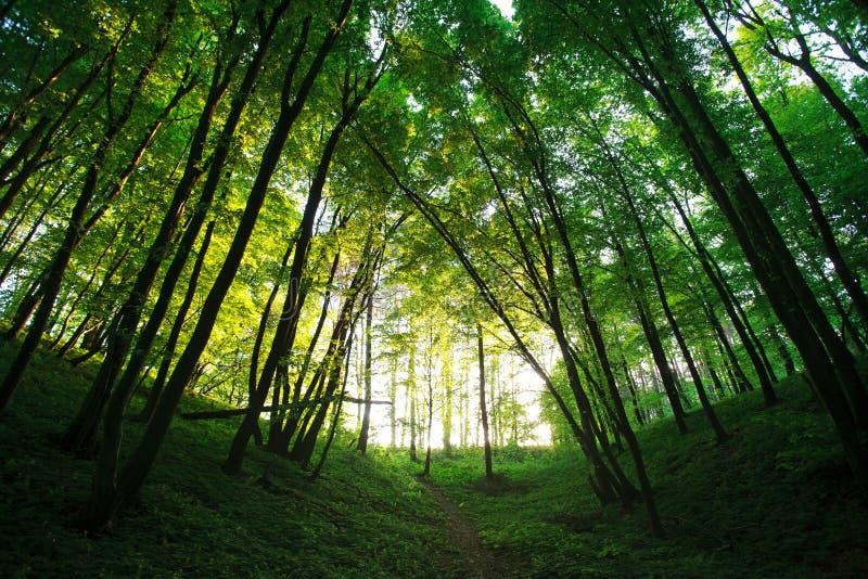 Forêt verte mystique dans rétro-éclairé du soleil images libres de droits